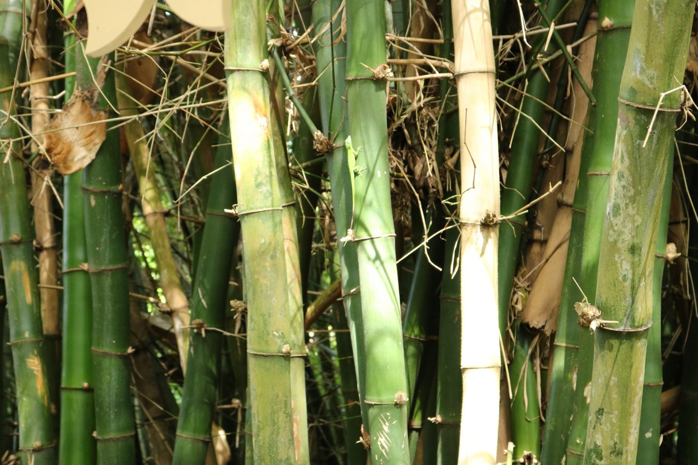 lizard in bamboo
